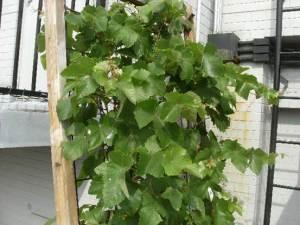 写①ブドウのグリーンカーテン